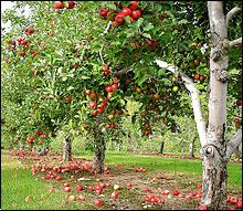 falling-apples