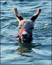 donkey-in-pool